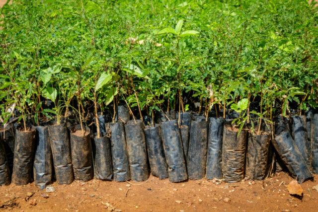 Baumsetzlinge für das Klimaschutzprojekt